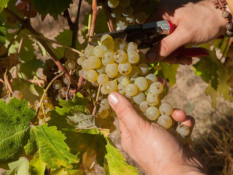 Vermentino, Sardinië's beste wijn